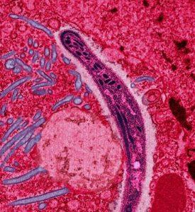 En plasmodium-parasit från en myggas saliv rör sig över en cell.