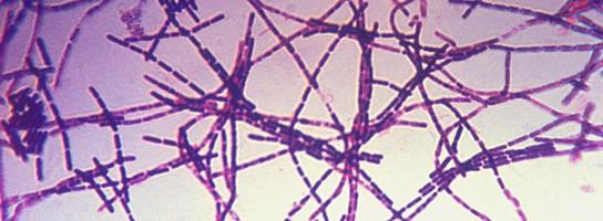 Bacillus anthracis (mjältbrand).