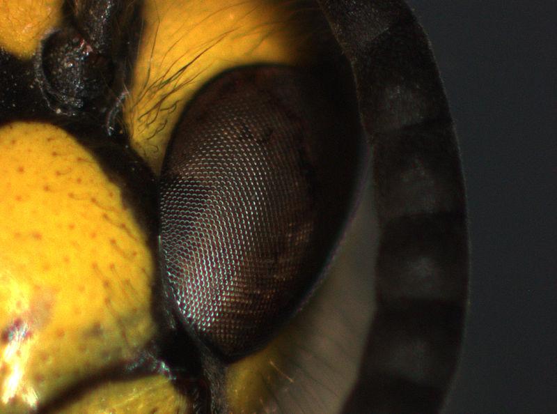 Bild på ögat hos en Vespula Vulgaris (vanlig geting), tagen i stereomikroskop.
