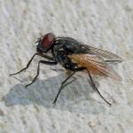 En vanlig husfluga i cirka 20x förstoring.