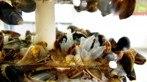 Sjöpungar, musslor, hydroider, grönalger med mera som bosatt sig på en Virtue-platta.