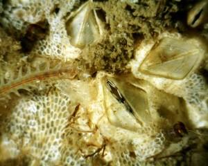Bild på bl.a. mossdjur och havstulpan tagen med ett USB-mikroskop från Dino-Lite.